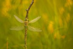 Anax parthenope, Anax napolitain (schwartzdavid57) Tags: 2018 anaxparthenope anaxnapolitain macro pentax 180mm sigma libellule dragonfly proxy