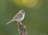 Field Sparrow (sbuckinghamnj) Tags: sterlingforest newyork songbird sparrow fieldsparrow