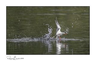 Gone fishing - Common Tern