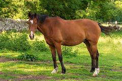 Portrait of a horse (DRWeaver) Tags: summer landscape nature derbyshire outdoors animals peakdistrict horse eyam england unitedkingdom gb
