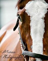 Lull (EASY GOER) Tags: horses racing equine thoroughbred sports belmontpark horseracing races athletes canon5dmarkiii christopheclement