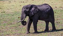 Has anyone a tooth brush for me? (werner boehm *) Tags: wernerboehm boatsafari elephant gamereserve safari wildlife africa botswana