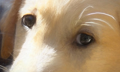 An animal's eyes have the power to speak a great language. (Martin Buber) (boeckli) Tags: eyes eye dog hund animal tier textures texturen texture textur tmi outdoor look power fur furry fell guidedog puppy blindenhund