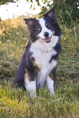 6/12 Annie (smile KB) Tags: 12monthsfordogs annie tilt head aussie grass park walk pet