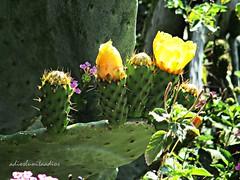 Alineados ( un paseo por el campo ) 004 (adioslunitaadios) Tags: plantasyflores higoschumbos fruta flores cactus campo floressilvestres naturaleza canón