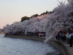 P3242921 (Dr. Fieldgood) Tags: washington dc national cherry blossom festival spring flowers mall