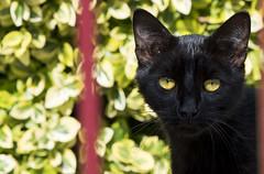 Hypnose (Sugar 41) Tags: chat regard yeux d750 tamron70200mmf28g2 cat eyes