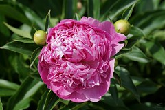 Pfingstrose  /  peony (Ellenore56) Tags: 24052018 pfingstrose peony blume flower blüte blumen flowers bloom blossom florescence duft blütenduft flavor flavour odor odour floweryscent parfum fragrance garten garden botanik botanical flora pflanzenwelt sonnenlicht sunlight detail moment augenblick sichtweise perception perspektive perspective reflektion reflection reflexion farbe color colour licht light inspiration imagination faszination natur nature magic sonyslta77 ellenore56 flowerpower