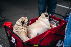 PugCrwal-21 (sweetrevenge12) Tags: portland oregon unitedstates us pug parade crawl brewing sony pugs dog pet