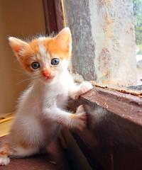 Cute baby cat.. (sistemlideli) Tags: orangetabby orange babycat baby cutecat cute sundaymood animal cat kitten save
