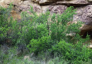 New Mexican Olive (Forestiera pubescens)