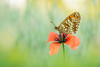 Melitaea (Marcin Błoch) Tags: afsdxmicronikkor85mmf35gedvr nikond7200 insect flower dragonfly butterfly colors spider naturallight green yelow meadow forest river light