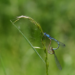 Common Blue Damselfly (Bryan & Jan) Tags: commonbluedamselfly insect damselfly macros swtlackfordlakes enallagmacyathigerum