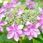 Japanese Hydrangea : 八重咲のガクアジサイ thumbnail