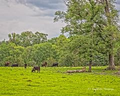 Bovine Picnic (augphoto) Tags: augphotoimagery animal cow domesticated farm green pasture rural bradley southcarolina unitedstates