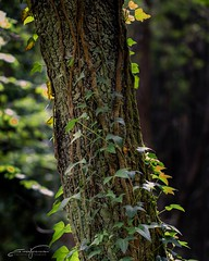 Tree detail (jorgeverdasca) Tags: beautiful 5dmk4 canonphoto morninglight morning mist sunlight spring magiclight goth woodland forest sintra portugal tree