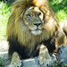 Akron Zoo 06-06-2014 - Lion 8