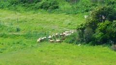 312 - Cap Corse, Rogliano, les moutons au pied des ruines du château Castellacciu San Columbanu (paspog) Tags: rogliano corse captcorse montagne mountain berg france mai may 2018 moutons sheep