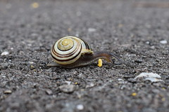 Overcoming Life's Obstacles (davidvines1) Tags: snail wildlife nature