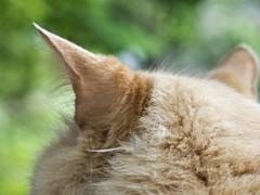Tuned In (Boneil Photography) Tags: boneilphotography brendanoneil canon powershot g16 cat pet mainecoon murray ear macro bokeh dof depthoffield