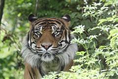 Tigre de Sumatra_TARU (Passion Animaux & Photos) Tags: tigre sumatra sumatran tiger panthera tigris persica zoo pal france