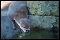 having a sip (Neil Tackaberry) Tags: asian short claw otter asianshortclawotter mammal animal dingle oceanworld aquarium dingleoceanworldaquarium captivity county co kerry countykerry cokerry ireland