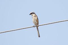 Long-tailed Shrike at Ranthambore S24A9490 (grebberg) Tags: ranthambore bird rajasthan india march 2018 longtailedshrike laniusschach lanius shrike