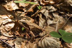 Versteckt im Laub (tan.ja1212) Tags: kröte toad laub foliage blätter klee clover wald wood tier animal natur nature