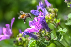 messy bee at work (Paul Wrights Reserved) Tags: bee bees beautiful flower flowers beeinflight flying flight wings flapping buzzing pollen pollenation pollinating botanical wildlife nature insect insects flyinginsect inflight colour colourful colours color coloured