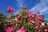 Denver Botanic Gardens 5-29-18 22 (flowercat) Tags: denverbotanicgardens denver botanicgarden garden botanicalgarden flowers mayflowers colorado roses
