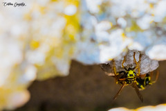 Refugio de avispas / Wasp shelter (CrisGlezForte) Tags: avispas refugio naturaleza primavera amarillo antenas wasp shelter nature spring
