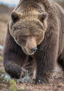 Oso pardo / Brown bear / Ursus arctos/. Finland