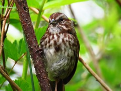 Song Sparrow, Pacific NW subspecies (0559) (lnmp_ny) Tags: nisquallynationalwildliferefuge washington olympia