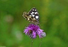 DSC_2147 (Stefania Bianco) Tags: butterfly amazing nikon reflex nature lepidottero delicate macro flower colors summer holiday travel details insect romantic cool white black pink cardus naturally animal