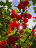 Would you like Summer? Taste of our's — (Eliza Eska) Tags: currant redcurrant fruit plant garden orchard powsin bothanicalgarden