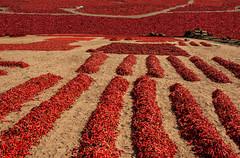 Red Hot Chili (Tati@) Tags: thardesert rajasthan chili red hot drying farm