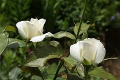 180525010 (murbozero) Tags: murbo japan flower rose