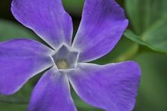 IMG_2372flx (kapilmerc) Tags: flower blue periwinkle sunlight morning uttaranchal d