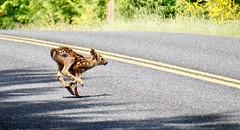 Get on your mark...Get set....Go! (hendricksms) Tags: babydeer running fawn deer