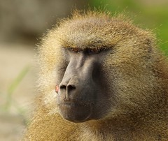 Baboon (13) (Simon Dell Photography) Tags: baboon baboons monkeys cute funny babys young male female adults yorkshire wildlife park doncaster uk england spring day images high res animals zoo captive rare wild life simon dell photography tog 2018 may sunny detail