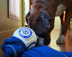 Chelsea! (Bl.Mtns.Grandma) Tags: ddogchal boxer dog chelsea ball football scarf