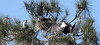 Pied Cormorants (iansand) Tags: homebushbay bird birds piedcormorant shag cormorant