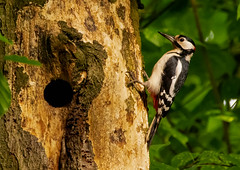 Great spotted Woodpecker. (xDigital-Dreamsx) Tags: bird nature wildlife trees hole nest woodland woods wald naturethroughthelens