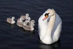 Un cisne blanco y siete polluelos (Ce Rey) Tags: swan cisne chicks polluelos agua ave aves blanco white animal flickrexploreme challengegamewinner 15challengeswinner challengeyouwinner