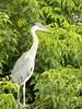 101_0419 (Elisabeth patchwork) Tags: bird reiher heron vienna wasserpark floridsdorf