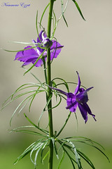 Fleur ID ? (Ezzo33) Tags: france gironde nouvelleaquitaine bordeaux ezzo33 nammour ezzat sony rx10m3 parc jardin fleur fleurs flower flowers mauve bleu blue