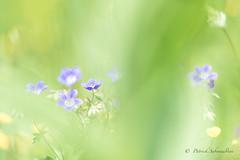 Géranium des prés-Geranium pratense (PatNik01) Tags: bugey fleur mauve prairie vert france nikon geraniumdespres geraniumpratense