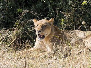Lioness canine teeth_1011488