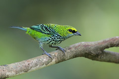Speckled Tanager (Greg Lavaty Photography) Tags: speckledtanager tangaraguttata costarica february birdphotography outdoors bird nature wildlife