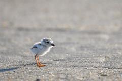 Lil' Baby Piping Plover (Somuchtwosay) Tags: 200500mm d850 sandyhook spring birding june plover pipingplover babybird nj jerseyshore wildlife